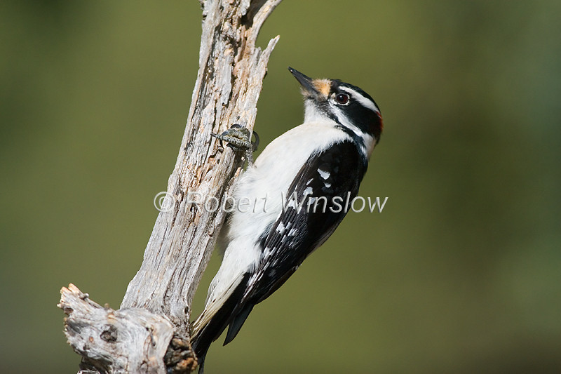 Male, Downy Woodpecker
