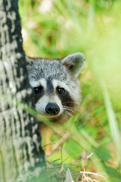 Raccoon peers at the photographer from behind a tree