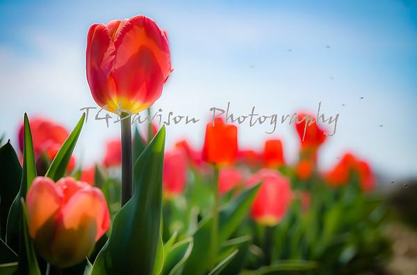 Richardson Farm Tulip Plot 2021