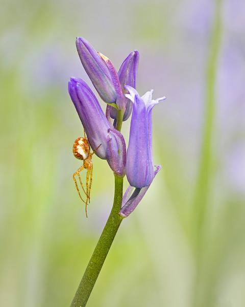 Spider on bluebell