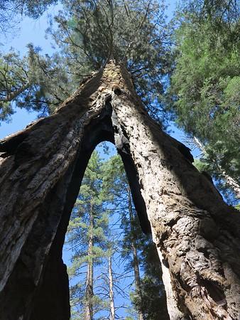Big Trees S. Grove4/17