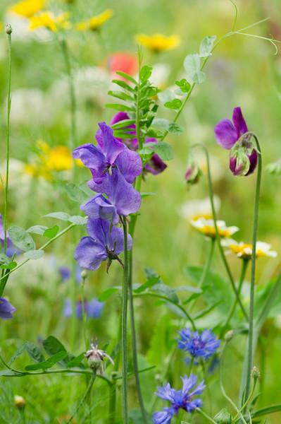 Blue Lathyrus and Cornflower
