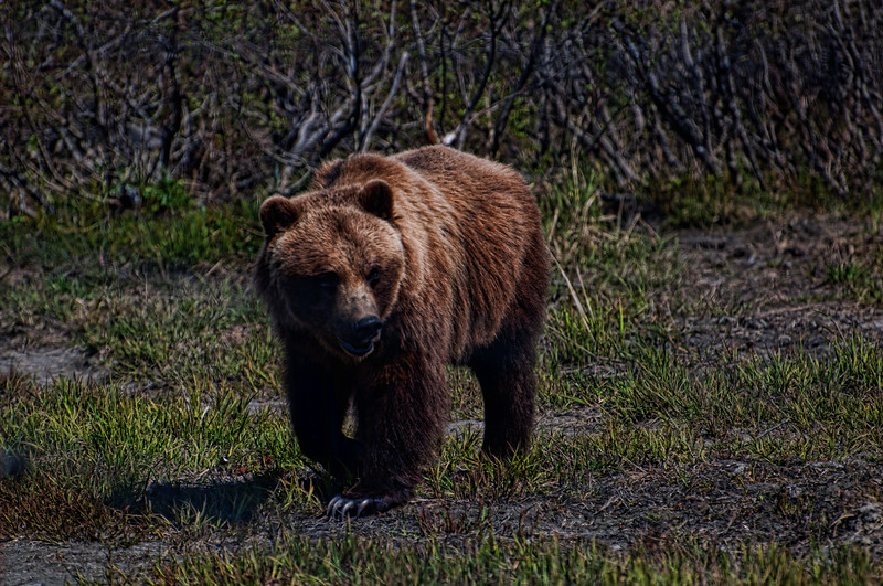 Brown bears are curious about visitors and come to the fence to check us out.