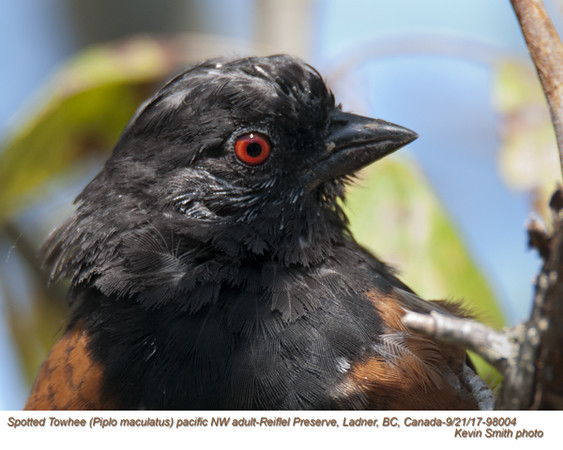 Spotted Towhee A98004.jpg