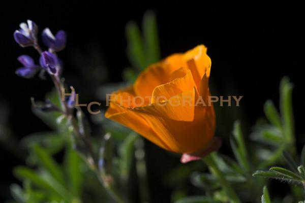 03/28/08 Quartz Hill, CA - wild flowers