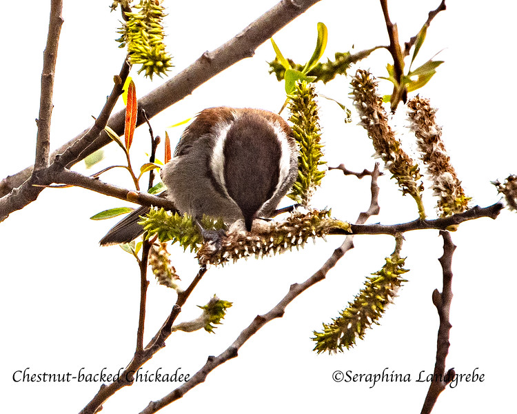 _DSC1505Chestnut-backed Chickadee.jpg