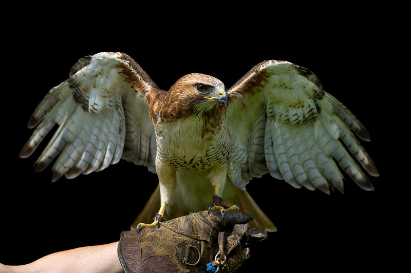 Falcon on glove.jpeg