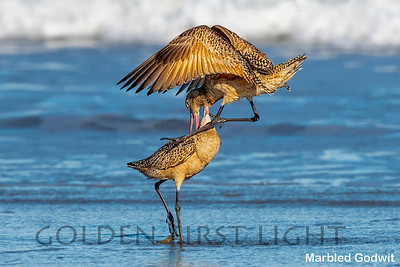 Marbled Godwit,  Morro Bay CA, USA