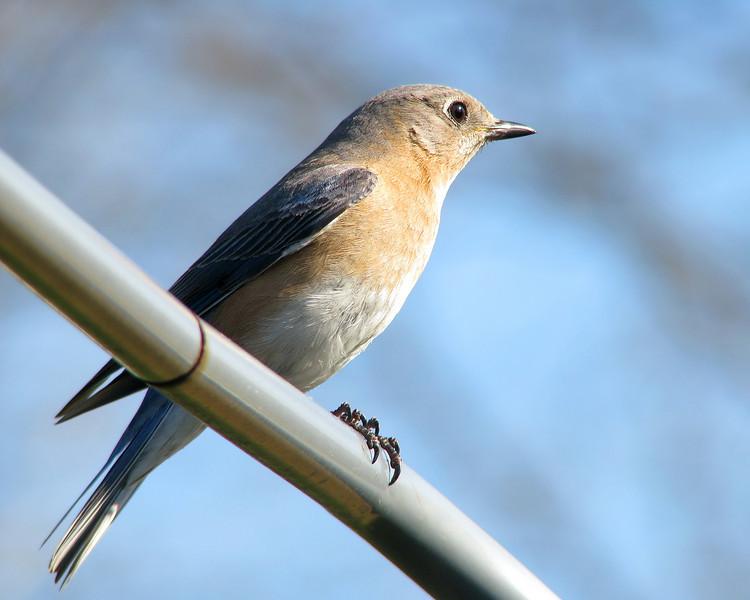 bluebird_2717.jpg