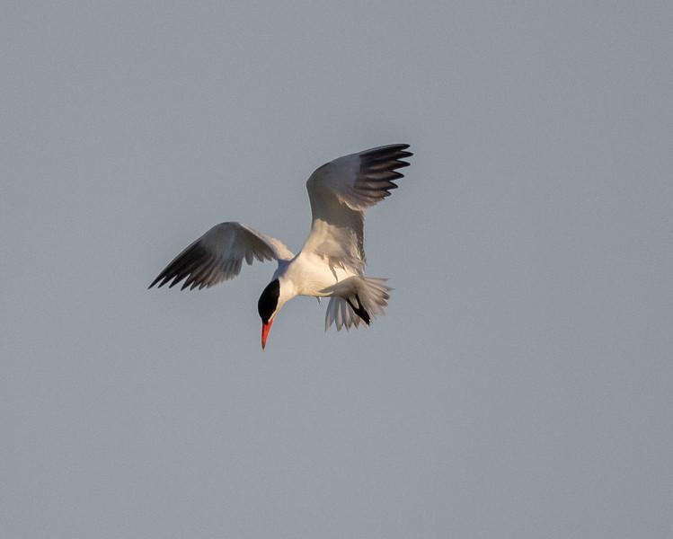 Caspian Tern Warm Lake near Crowley Lake 2021 06 21-2.CR3