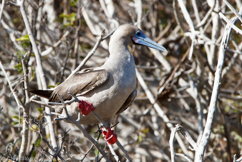 Red-footed Booby brown morph adult at Darwin Bay, Genovesa, Galapagos, Ecuador (11-25-2011) - 219.jpg