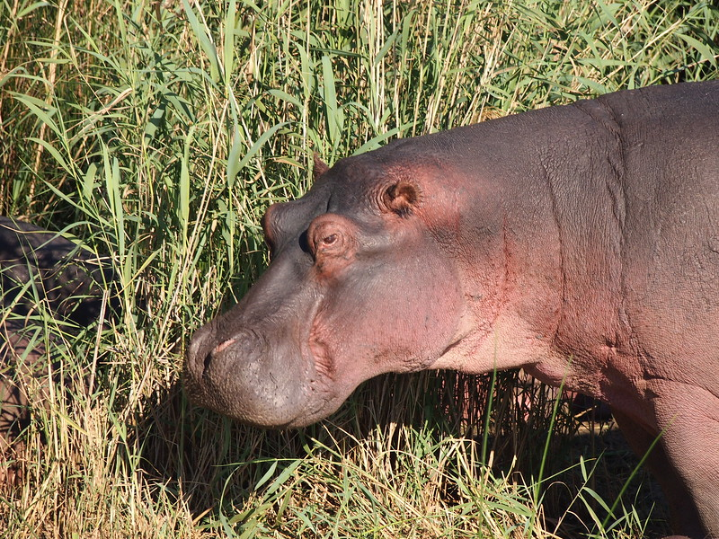 P5036007-hippo-face.JPG