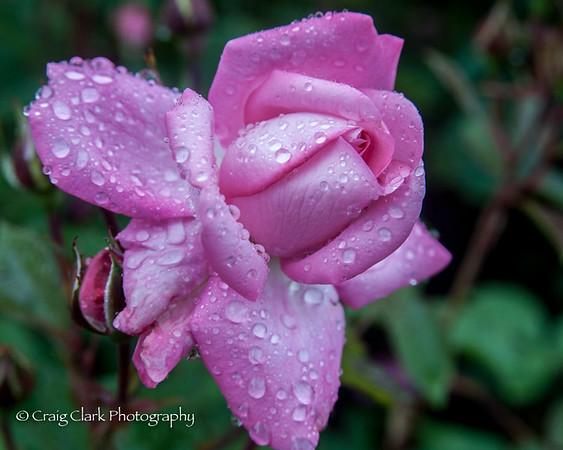 Rose Garden June 10 2017