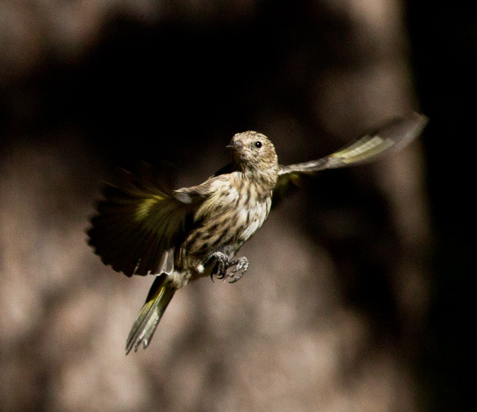 Pine Siskin   Mammoth Lakes 2012 08 27 (5 of 5).CR2