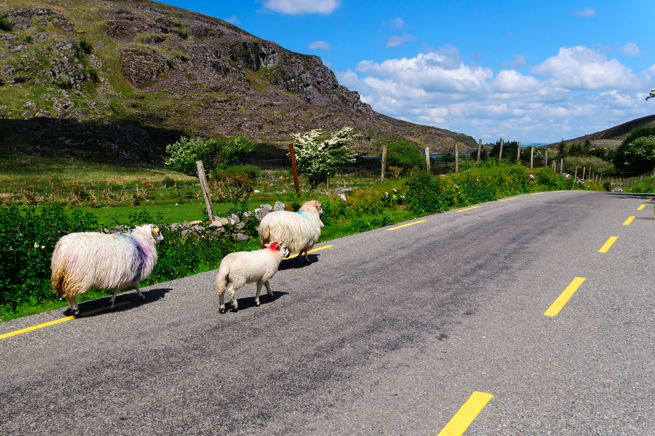"Gap of Dunloe; sheep ""branded"" with paint."