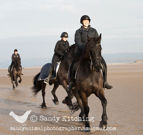 Friesian beach ride Jan 2016