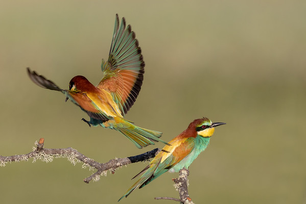 Eurasian Bee Eaters