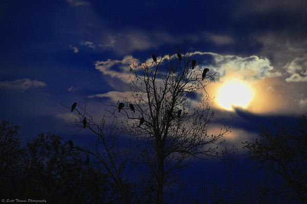 Cormorants roosting under the super full moon in Baldwinsville, New York.