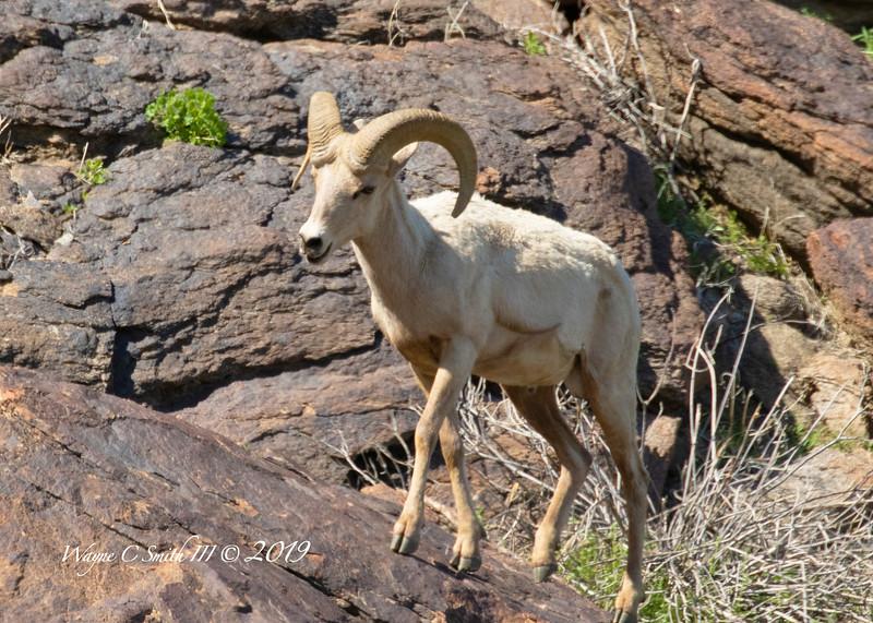 Big Horn Sheep, Young Ram