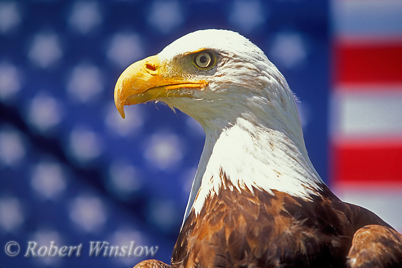 Male Bald Eagle (Haliaeetus leucocephalus),  American Flag in the background, Controlled Conditions