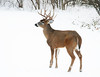 White-tail Buck
