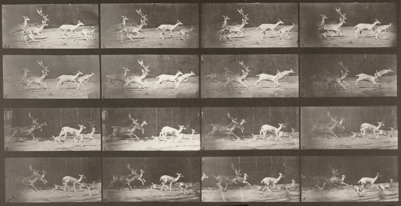 Fallow deer, buck and group of does, galloping (Animal Locomotion, 1887, plate 689)