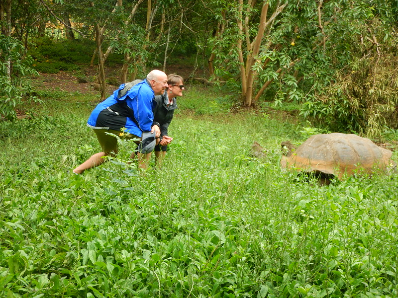 Giant Tortoises in the wild on Santa Cruz
