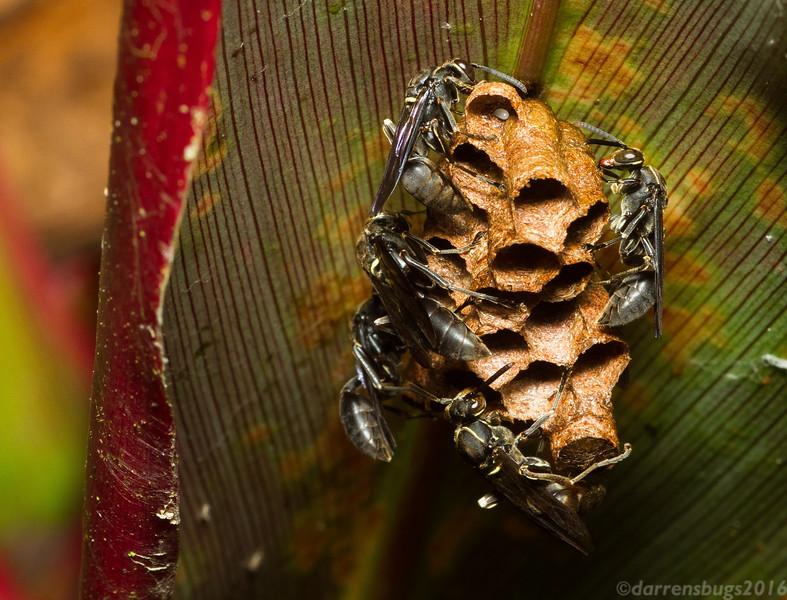 Paper wasp nest under construction in Panama. (Polistinae: Mischocyttarus sp.)