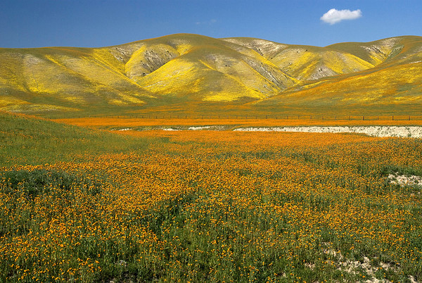 Wildflower Report 2008.   Carrizo Plain and vicinity, 20 March 2008.