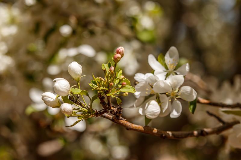 FloweringTree-03.jpg