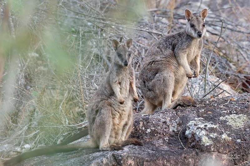 Mt Claro Rock-wallaby, Hidden Valley, QLD, Jan 2020-4.jpg
