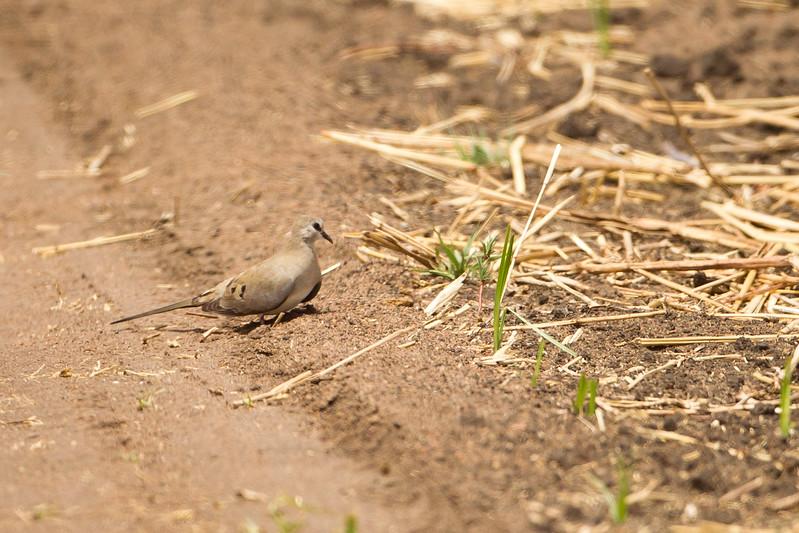 Namaqua Dove - Tarangire National Park, Tanzania