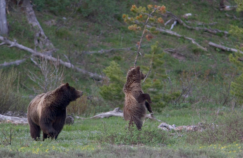 grizzly bear004.jpg