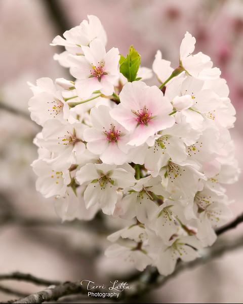 _DSC3459 cherry blossom signed 4x5.jpg