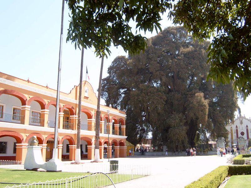 Mexico-Tule-Tree20.jpg