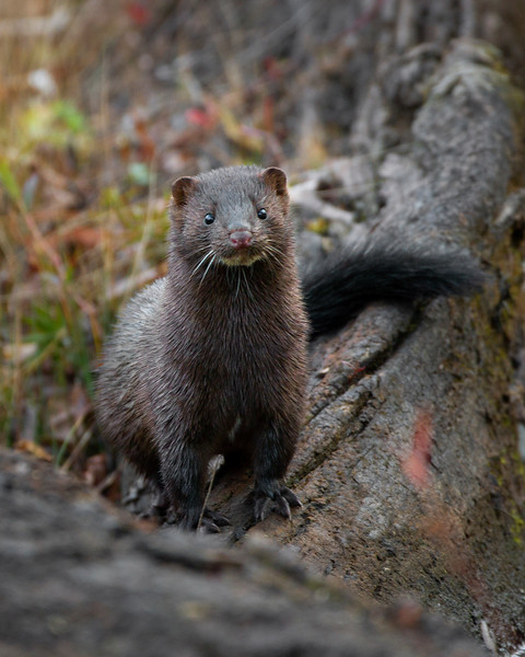 American Mink and Martens