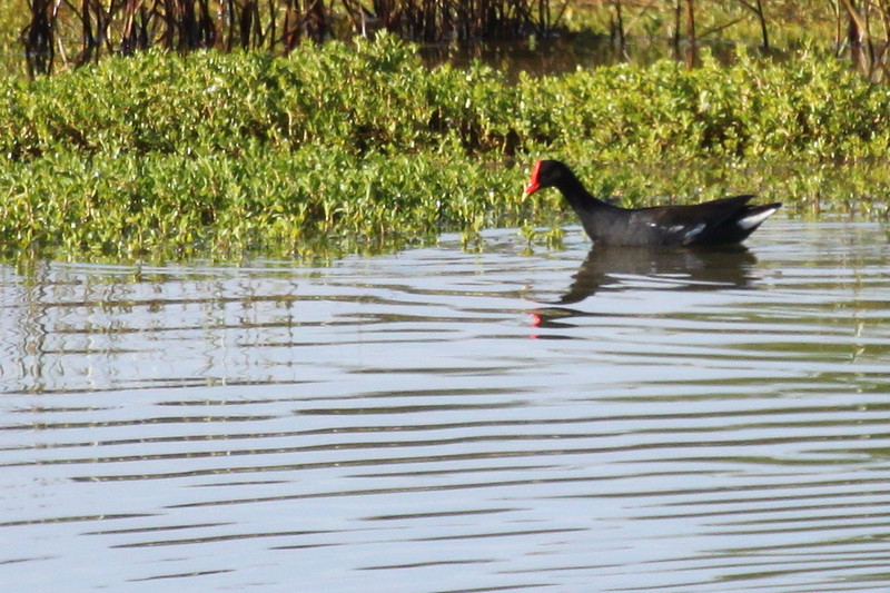 Hawaiian Common Gallinule