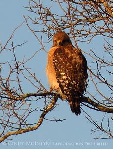 Okefenokee Hawks-Owls