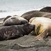 Young Antarctic Fur Seal feeding