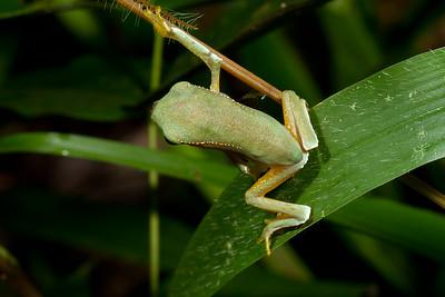 Frogs - Ecuador - Hylids