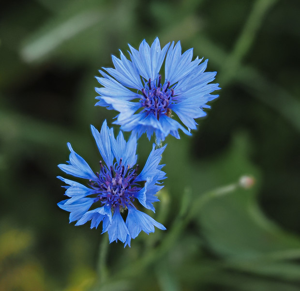 Cormflower