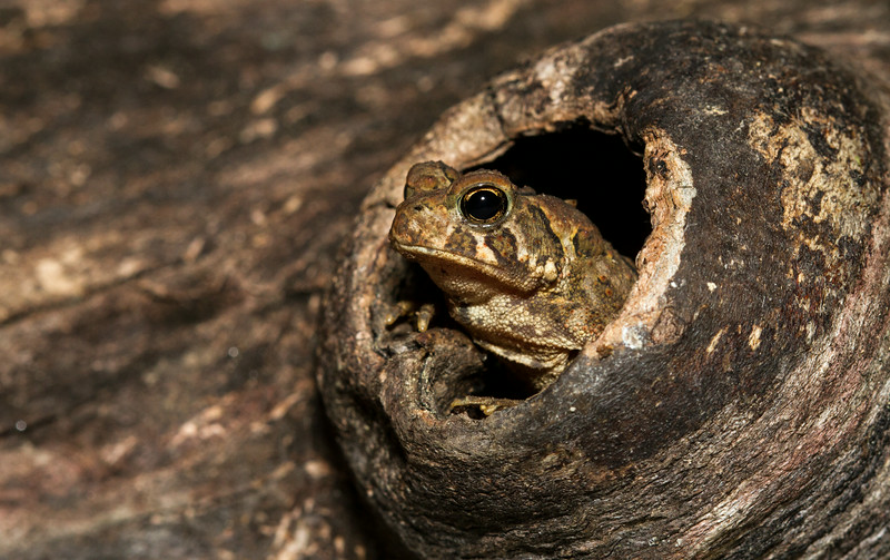 Toad in a cavity (1 of 1).jpg
