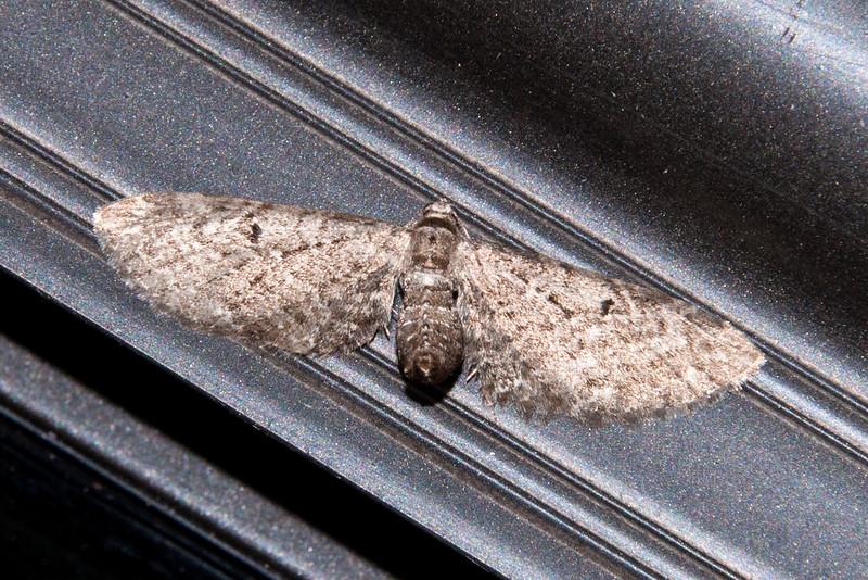 Pug - Common - (Eupithecia miserulata) - Dunning Lake - Itasca County, MN