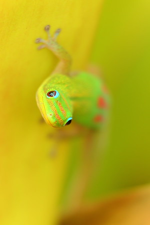 Gold dust day gecko. © 2020 Kenneth R. Sheide