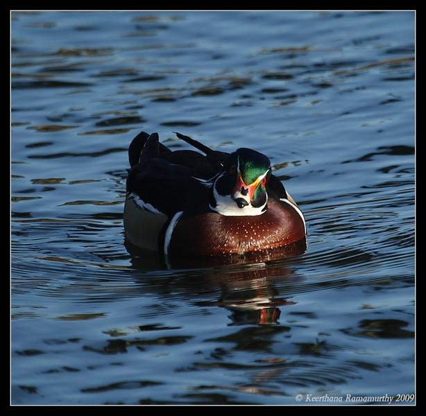 Wood Duck, Santee Lakes, San Diego County, California, January 2009