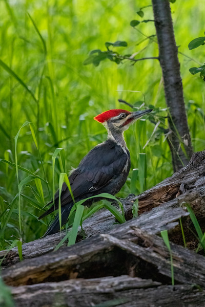 pileated woodpecker standing on the edge of a green field