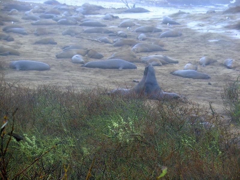 A whole mess of elephant seals, Ano Nuevo Beach