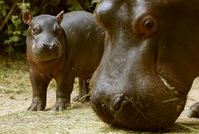 . A two-day-old hippopotamus with mother Helvetia  at the Zoo in Basel, Switzerland, July 19, 2013.      REUTERS/Arnd Wiegmann