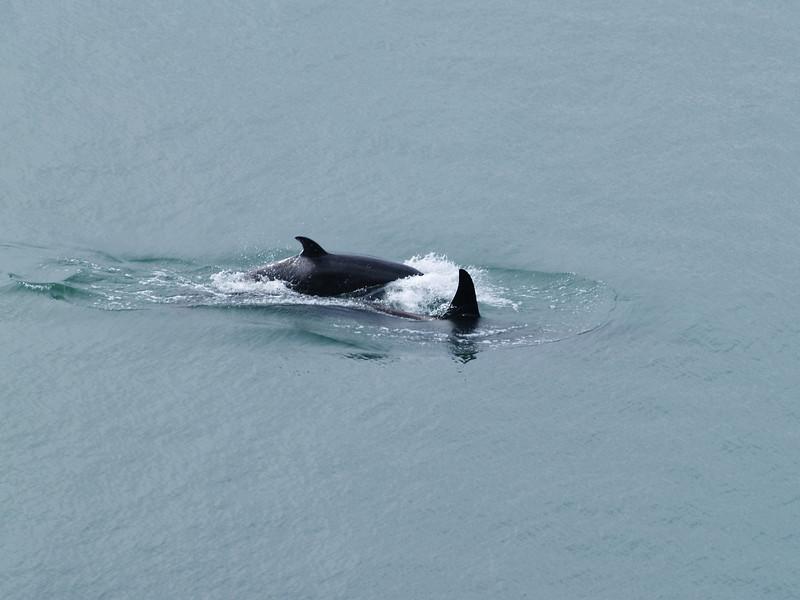 Orca female and juvenile