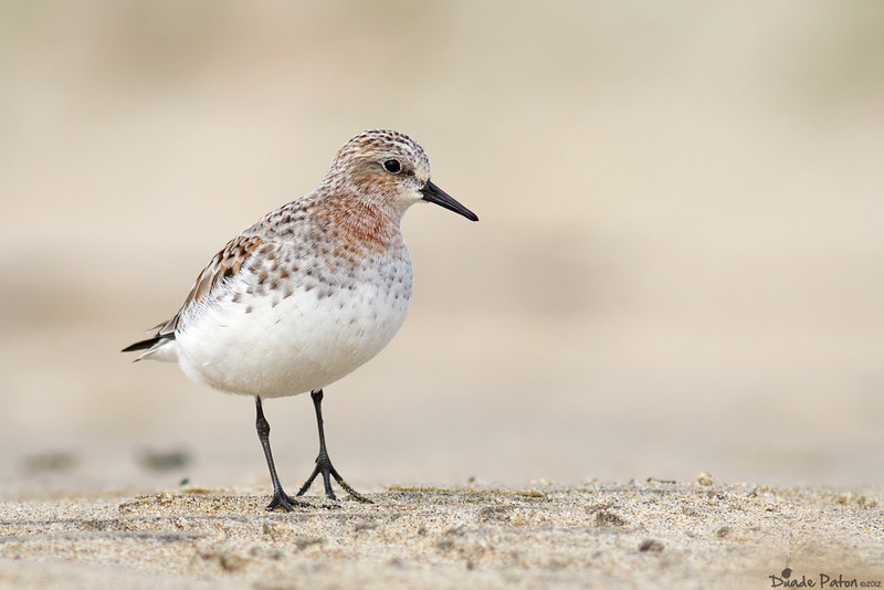 Red-necked Stint - Breeding Plumage